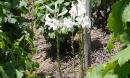 La vigne est en fleur