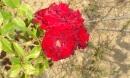 la rose de brouilly