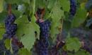 fin de récolte et vinification